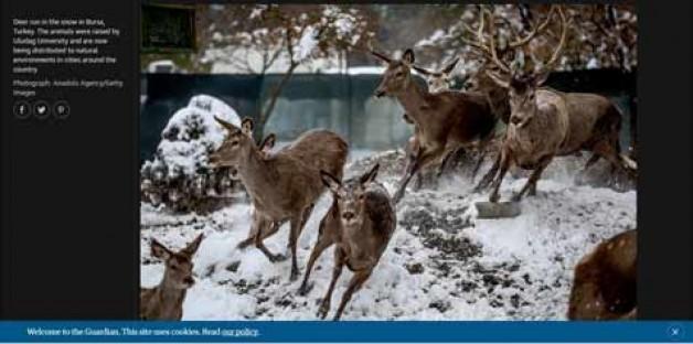 Üniversite'nin geyikleri The Guardian'da…