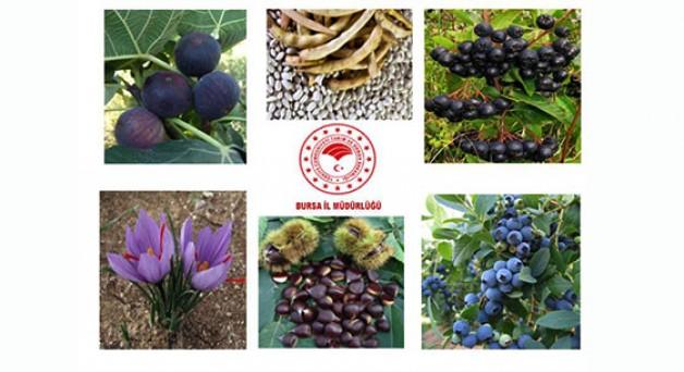 Bursa tarımına 7 yeni bitkisel üretim projesi