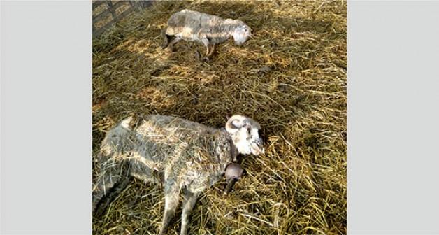 Sultaniye'de şüphe uyandıran hayvan ölümleri!