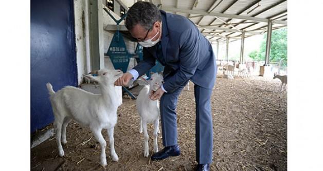 Keçi sütünden sabun üretimi başladı!