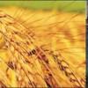 Buğday üreticisine 'sigorta' müjdesi