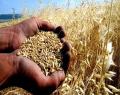 Buğdayda 300 milyon dolarlık kazanç