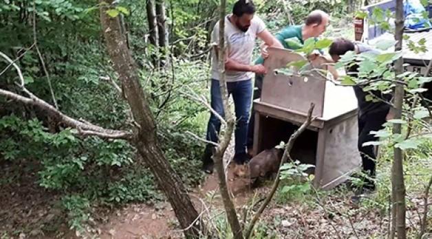 Tedavisi tamamlanan tilki ormana salındı