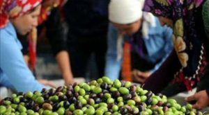 Kooperatif-olmadan-zeytincilikte-iddialı-olamayız-4