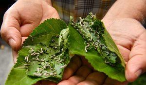 1-Kutu-ipekböceği-40-günde-4-Bin-TL-Gelir-2
