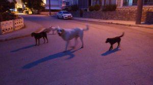 Başıboş köpek büyük sorun olmaya başladı-2